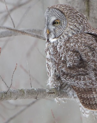 Chouette laponne / Strix nebulosa / Great Grey Owl